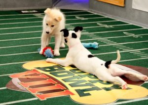 puppy-bowl-photos-19-625x450-1